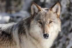 V Německu se daří populaci vlků. Pomáhá jim armáda…