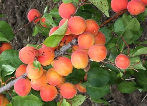 Nová odrůda meruněk dostala pojmenování Sophinka