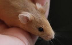 Experiment na ISS prokázal přizpůsobivost myší