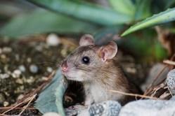 Myší samci kmene Prague Wild D postrádají gen, který ovlivňuje spermie. Přesto jsou plodní…