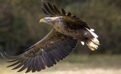 Na Hodonínsku někdo otrávil rodinu orlů mořských