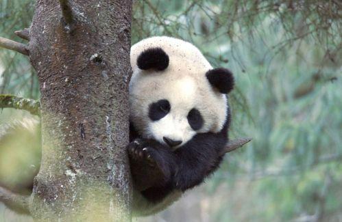 Panda proti pandě