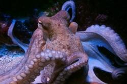 Jak se vzteká chobotnice?