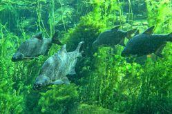 Z rybích šupin lze vyčíst změny životního prostředí