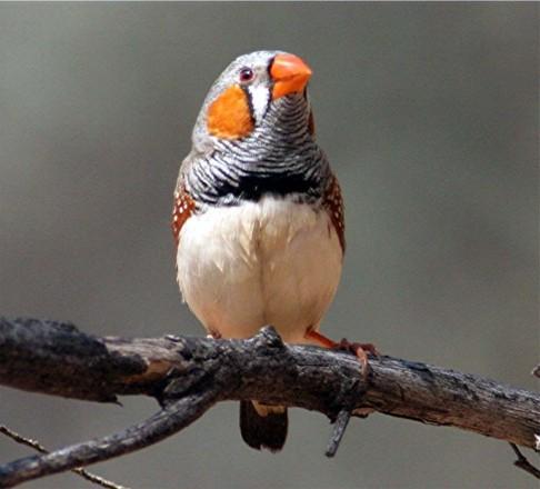Ptačí zpěv má gramatiku