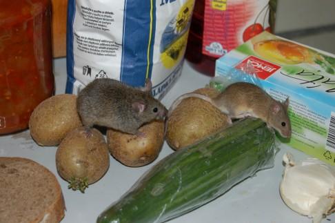 Tajemství laboratorních myší