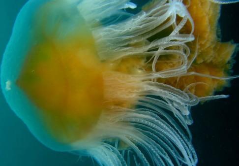Medúza: jedy i ekologická katastrofa!