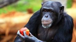 """Šimpanzi ovládají cizí """"jazyky """""""