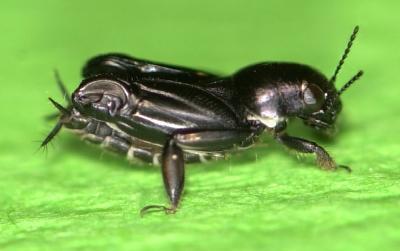 Kobylka, která skáče po vodě