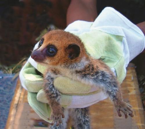 dwarf-lemur