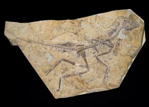 Je nový dinosaurus prvním ptákem?