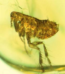 Blecha z jantaru ukrývala vražedné bakterie