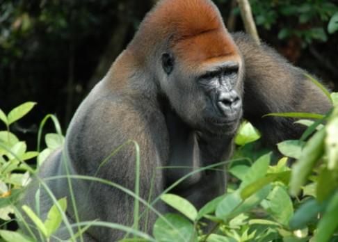 Virus ebola zabil třetinu goril a šimpanzů