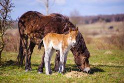 První jarní přírůstek v rezervaci divokých koní