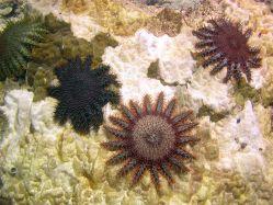 Hvězdice trnité požírající korály likviduje obyčejný ocet