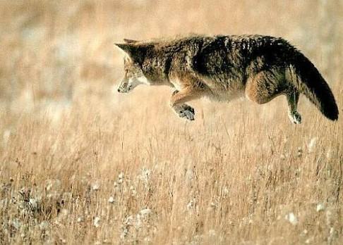 Kojoti se zmenšili za krátké období