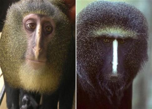 Nový druh opice z Afriky