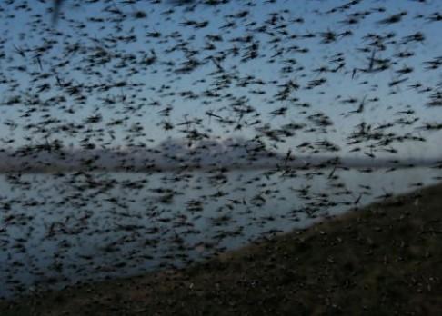 Vojenský řád v hmyzích hejnech