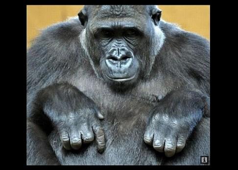 Gorila Moja porodila