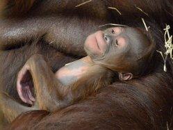 V ústecké zoo přišlo na svět mládě vzácného orangutana