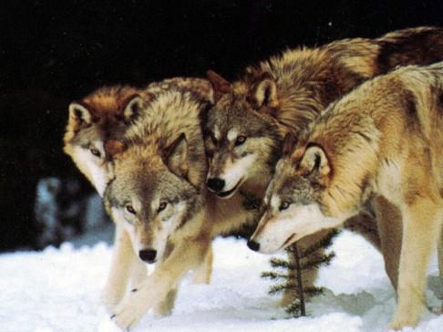 Vlci příživníci