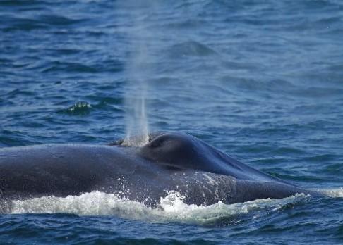 Velrybám už vyhynutí nehrozí