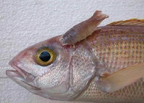 Parazitů je 10x více než ryb