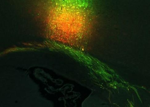 500 terabytů myšího mozku publikováno