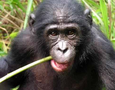 Šimpanzi mají smysl pro rytmus