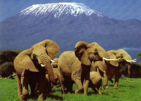 Slon africký brzy vyhyne. Kvůli pytlákům