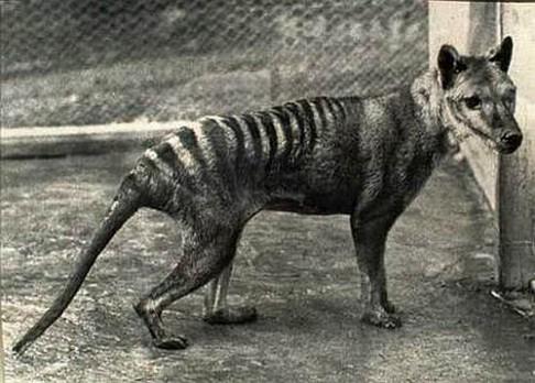 Žije tasmánský tygr?