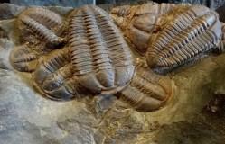 Češi objevili gigantické larvy trilobitů