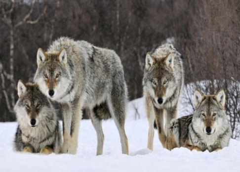 Na Kokořínsku se zabydleli polští vlci