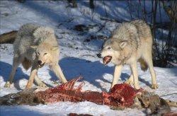 Studie ukázala, že počty vlků v Beskydech dlouhodobě stagnují