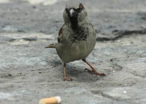 O prospěšnosti cigaret pro ptáky…