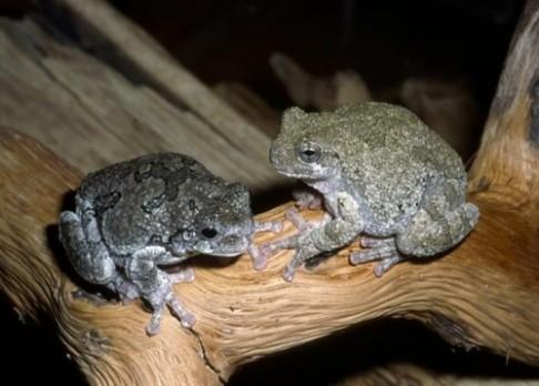 Žabí kvákání prozradí počet chromozomů