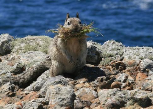 Zemní veverky se maskují pachem chřestýšů