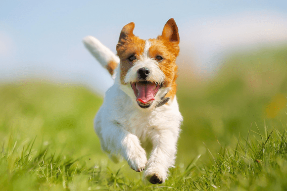 photo shows small white and orange dog running through grass