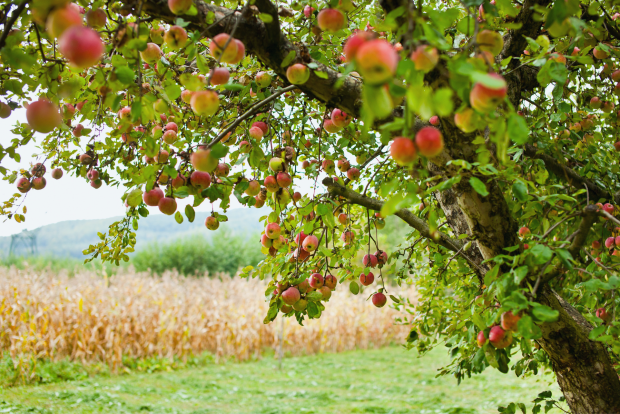 photo shows an apple tree in an orchard