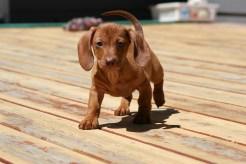 Rollo the wonder pup