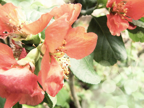 Flowering Quince (via leis bell)