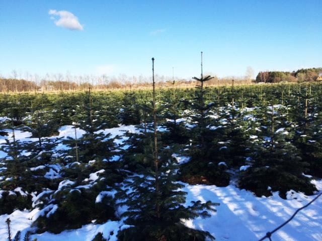 fæld dit eget juletræ på Amager