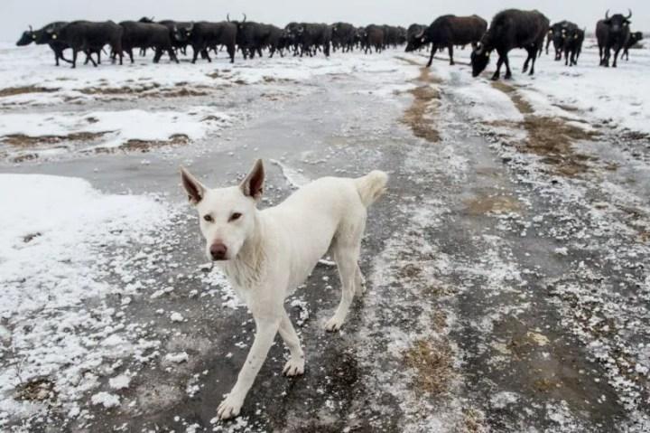 Fülöpszállás, 2017. január 25. Egy fehér sinka pásztorkutya segíti a bivalycsorda áthajtását a szabadszállási Zab-székrõl a fülöpszállási Kígyós-háti állattartó telepre a Kiskunsági Nemzeti Park területén, Fülöpszállás közelében 2017. január 25-én. A 120 állatot a nyári legelõterületrõl hajtották be a téli szállásukra. MTI Fotó: Ujvári Sándor