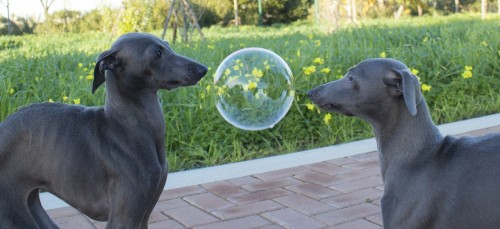 What do you think is going through the dogs' minds?  Are they too afraid to move?  Do they know that it is just a bubble?  Do they want to touch it?  Will they just stand there and wait.  I think that they will wait and see.  They will keep waiting until the balloon  will pop in one of their faces.  And if the same thing happens next week,  they will most probably do the same thing.
