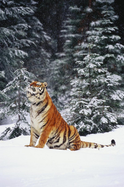 "brutalgeneration:</p> <p>Tiger (by lmstonenhp1)</p> <p>Could you smell the sweet air?<br /> Could you smell the snow in the air?<br /> I could even hear footsteps crunching<br /> in the snow.<br /> I'd better run.<br /> Humans are coming and I don't want<br /> them to see me sunning myself.<br /> I will just give a ferocious ""ROAR."""
