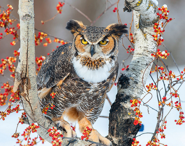 Great Horned Owl by Jeff Caverly