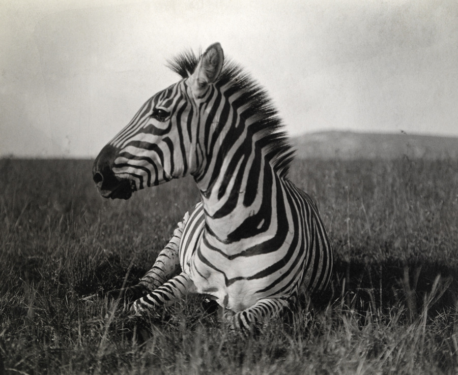 A Burchell's zebra at rest in the African terrain. From a March 1909 article about President Theodore Roosevelt's upcoming hunting trip to Kenya.Photograph by Carl E. Akeley, National Geographic