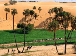 Cabras moradores rebanho perto de dunas de areia pelo vento na região do Sahel, o Níger, o Norte de África.
