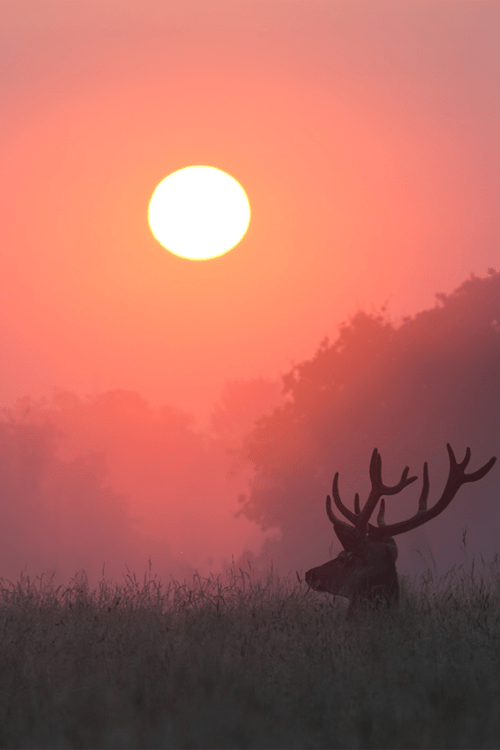 wonderous-world:</p> <p>Stag Sunrise by Alex Saberi</p> <p>NATURE'S BEAUTY<br /> Even the deer pauses to watch<br /> The sun rise in the morning.