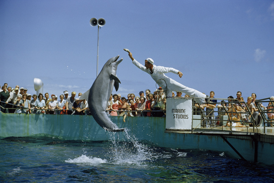 An attendant feeds a dolphin during a performance at Marineland in Florida, November 1952.Photograph by Luis Marden, National Geographic